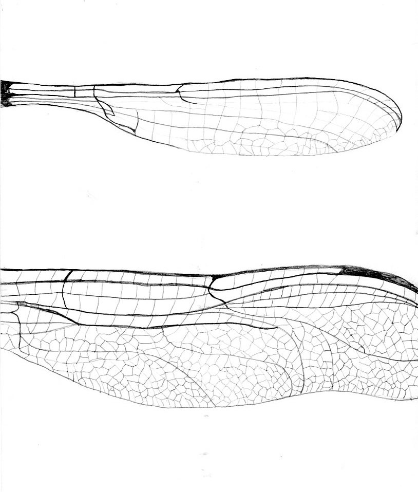 membrane studies of insect wings