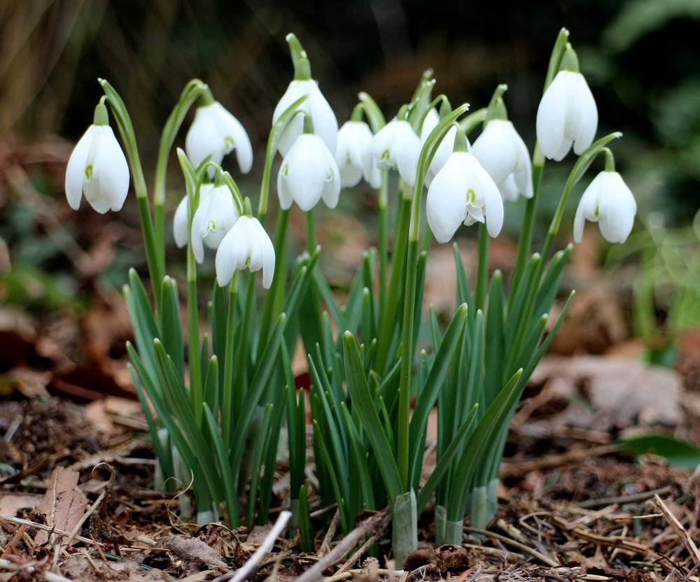Feb snow drops.jpg