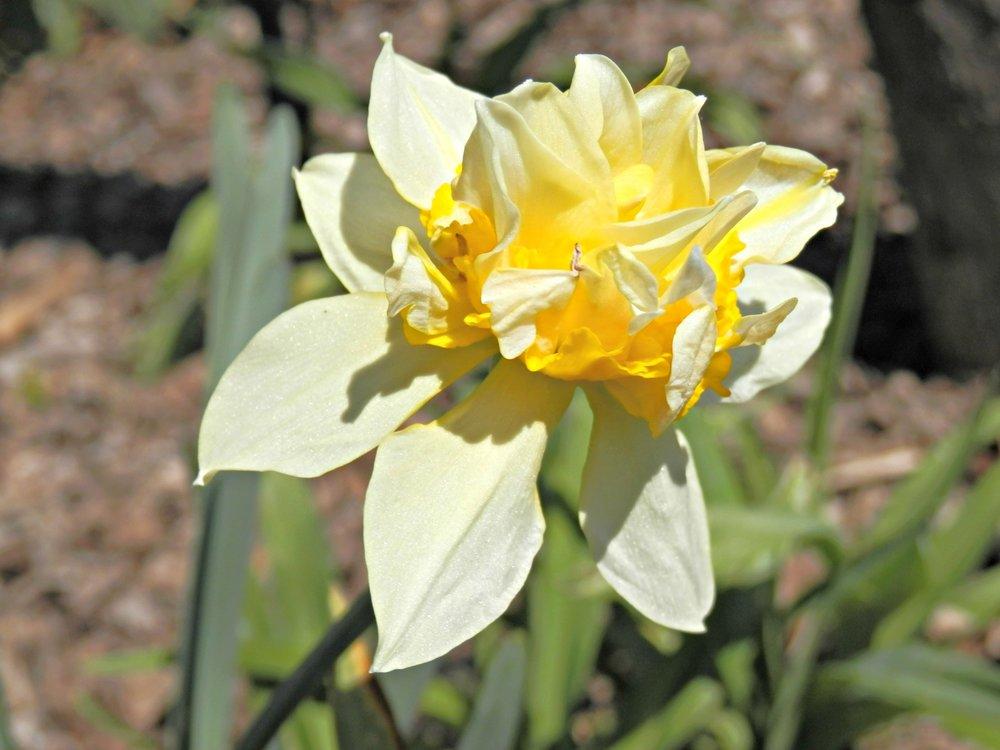 Scrambled Egg Daffodil