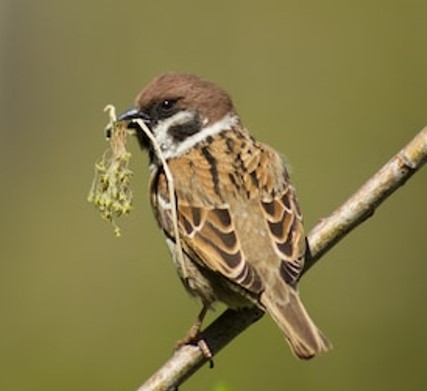April sparrow collecting moss for nest.jpg