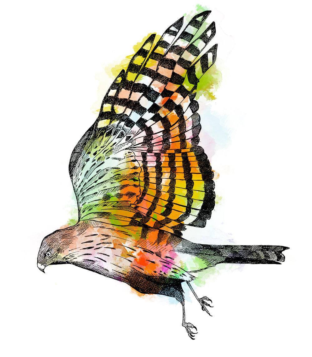 Hawk Colour.jpg