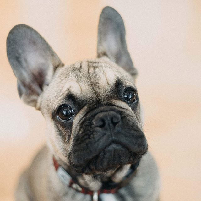 My new favourite photo subject. #frenchie