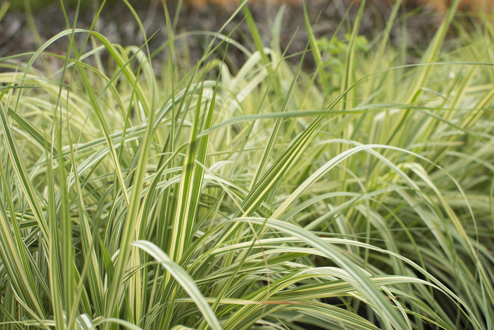 Ornamental grasses Long grass plants
