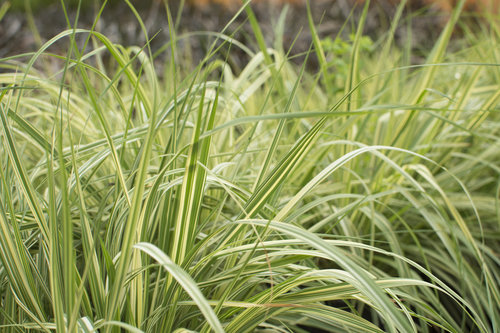 Ornamental grasses we grow many types of ornamental grasses in 4 and 1 gallon pots these plants will provide years of pleasure in your garden they are hardy and require workwithnaturefo
