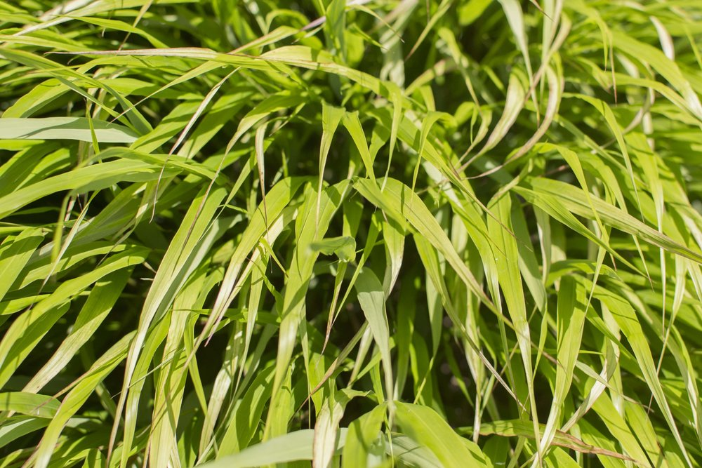 HAKONECHLOA macra'Beni-Kaze'Medium Height - A graceful mound of green grass through the summer, turning to stunning red in fall. Another great grass for shade. Mature size: 1.5' tall and 3' spread