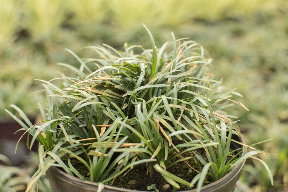 OPHIOPOGON japonicus 'Nanus''Japanese Dwarf Mondo Grass'Low Height - Dense dark green dwarf grass that works great as a ground cover. Slow growing, easy care.Mature size: 4-6