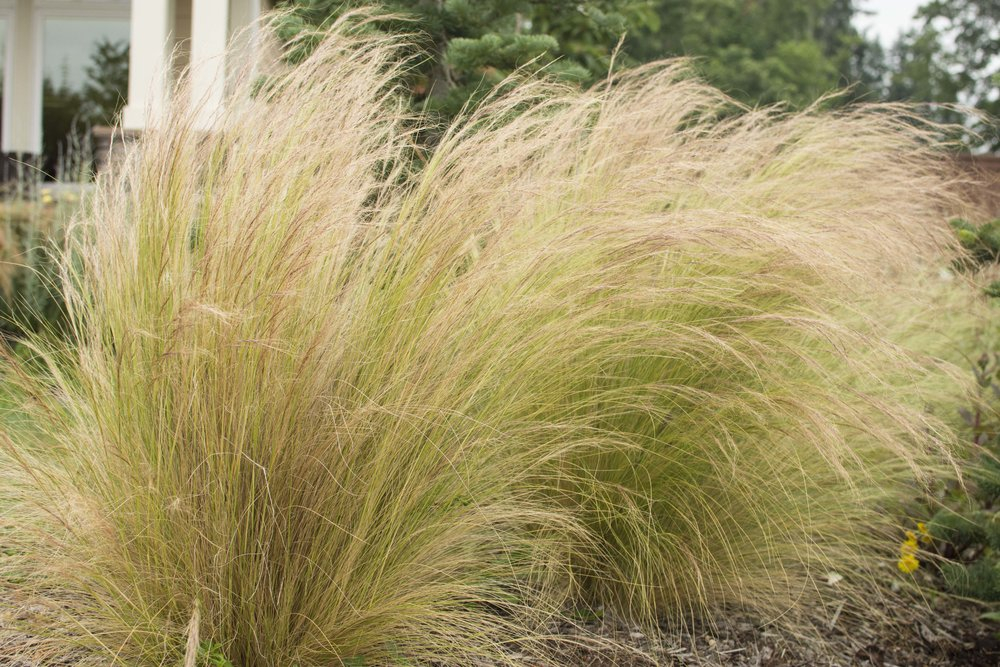 STIPA tenuissima'Mexican Feather'Medium Height - Graceful, fine textured grass with green leaves and bearded green plumes that turn golden. Mature size: 1-3' tall and wide