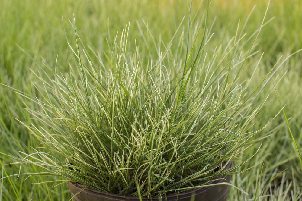 PENNISETUM alopecuroides 'Little Honey'Medium Height - A true miniature fountain grass with white striped leaves turning pink in fall.Mature size: 18