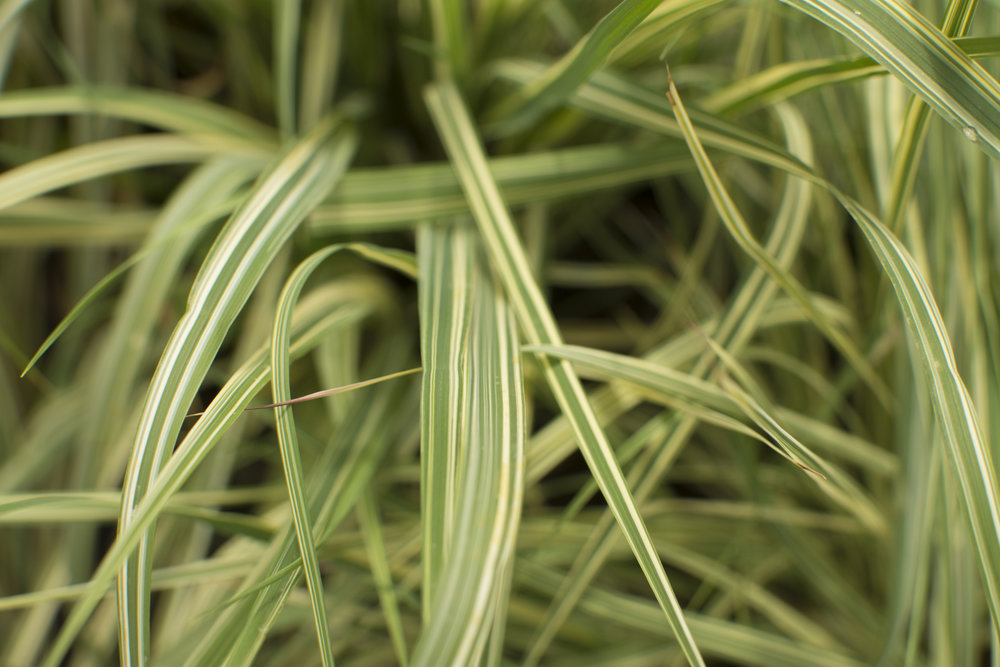 CAREX oshimensis'Evergold'Medium Height - Bright yellow bands on evergreen arching leaves. Compact rounded clumps. Thrives in good, well-drained soil in full sun or partial shade.Mature size: 1.5' tall and 1' spread