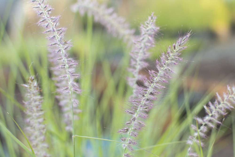PENNISETUM orientale'Karley Rose' Medium Height - Graceful, upright, smoky rose-purple flower spikes. Longer bloom season, with better cold tolerance than others.Mature size: 3-4' tall and wide