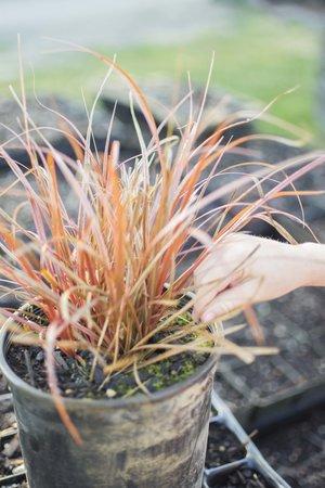 Ornamental grass care ornamental grasses 5574 careg workwithnaturefo