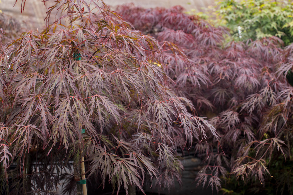 ACER p. 'Crimson Queen' - Weeping form tree with crimson color leaves in summer and bright red in autumn.Mature size: 10'