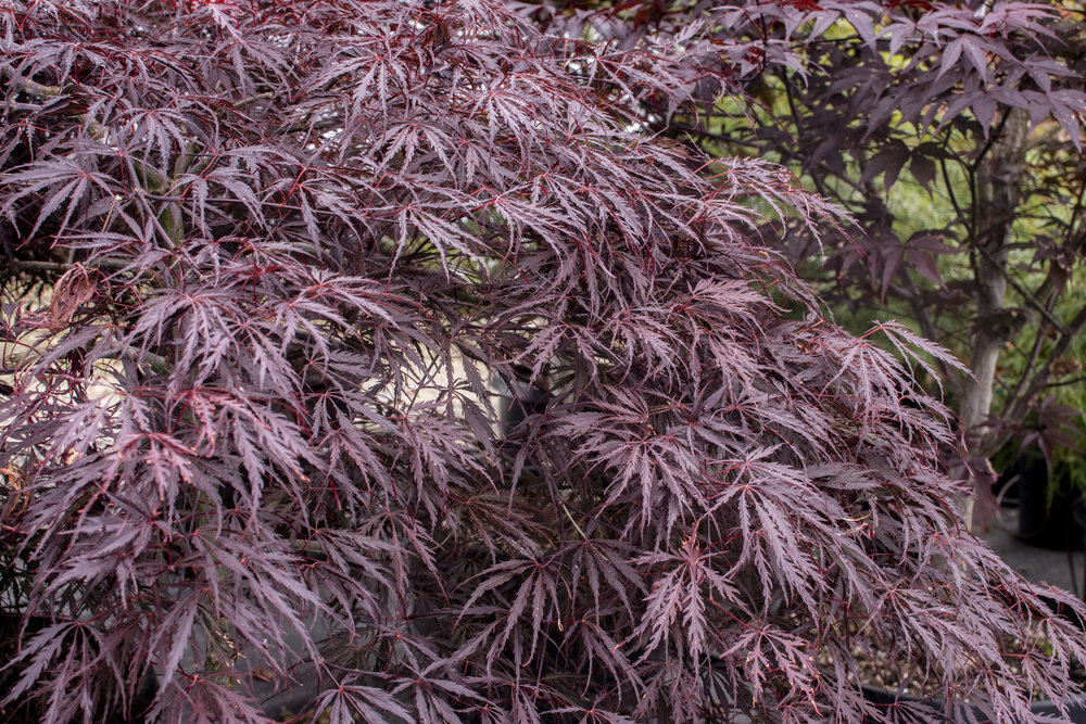 ACER p.'Tamukeyama' - Mounding tree with deep red bark.  Leaves are purple-red in summer and bright red in autumn.Mature size: 10-12'