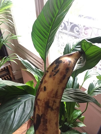 Just a plantain hanging out with my plants