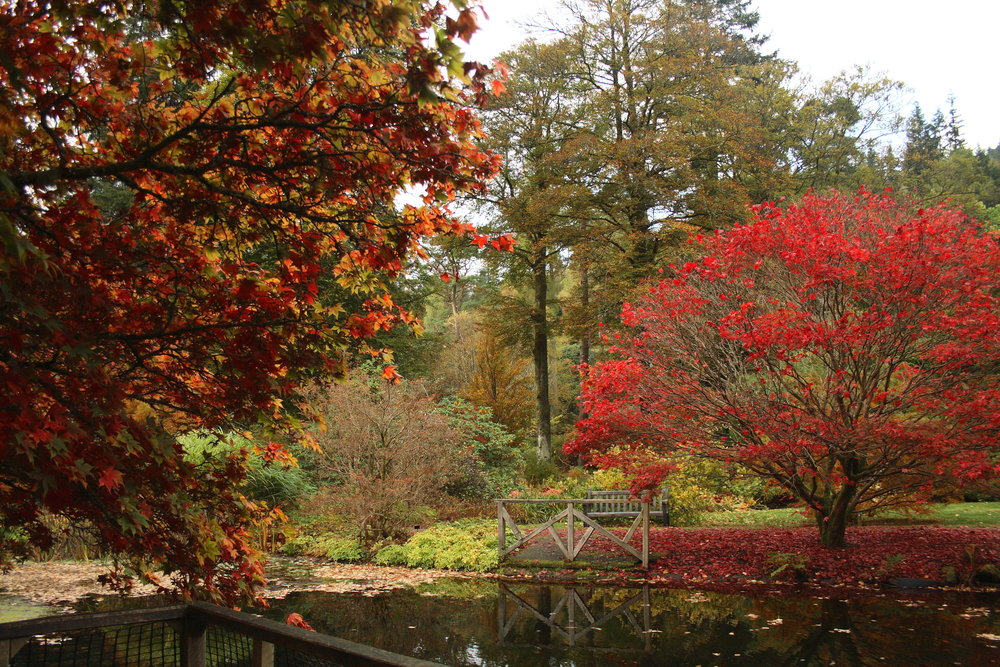 Japanese Maples, Benmore, near Dunoon