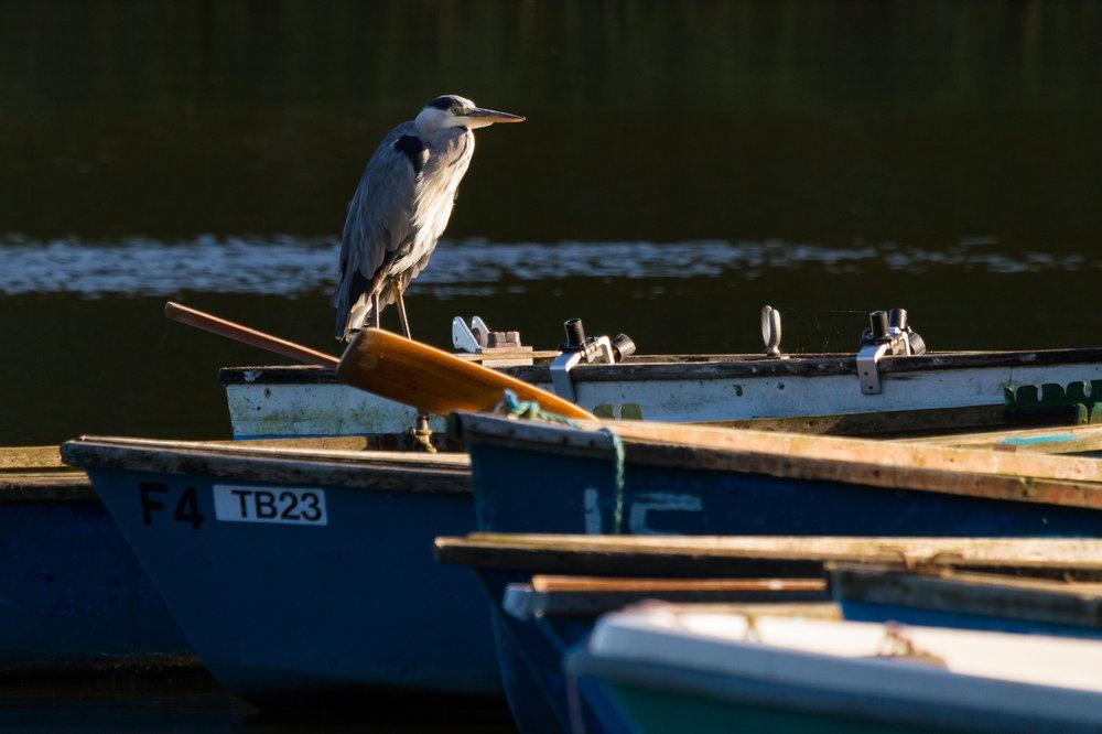 Heron - Ormesby Little Broad, Norfolk