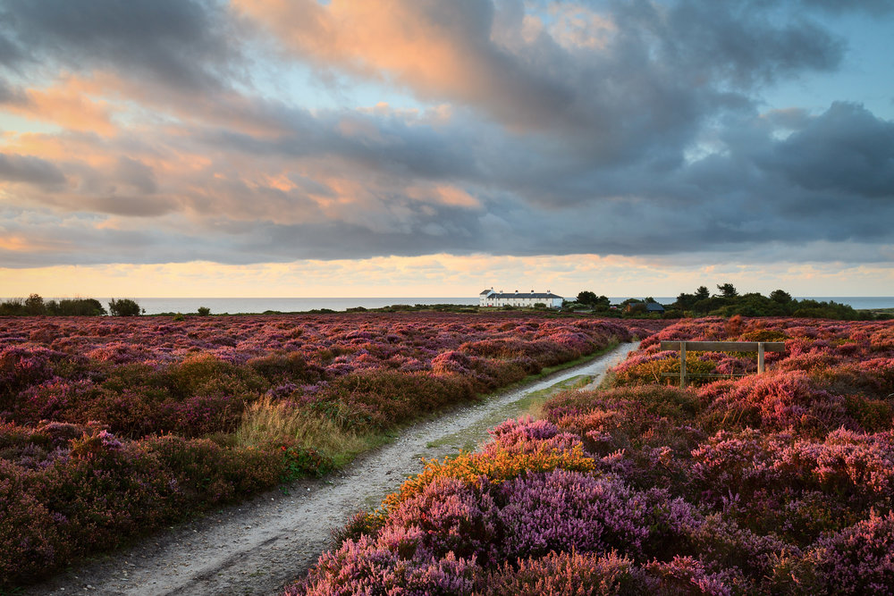 Sea of Heather - Dunwich Heath, Suffolk