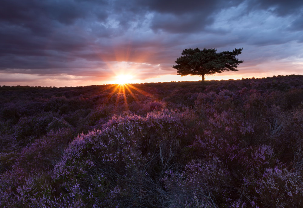 Suffolk Heather - Westleton Heath, Suffolk