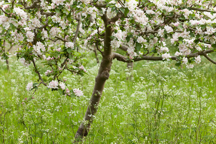 Apple blossom and wild flowers in the orchard at Wimpole Estate, Cambridgeshire