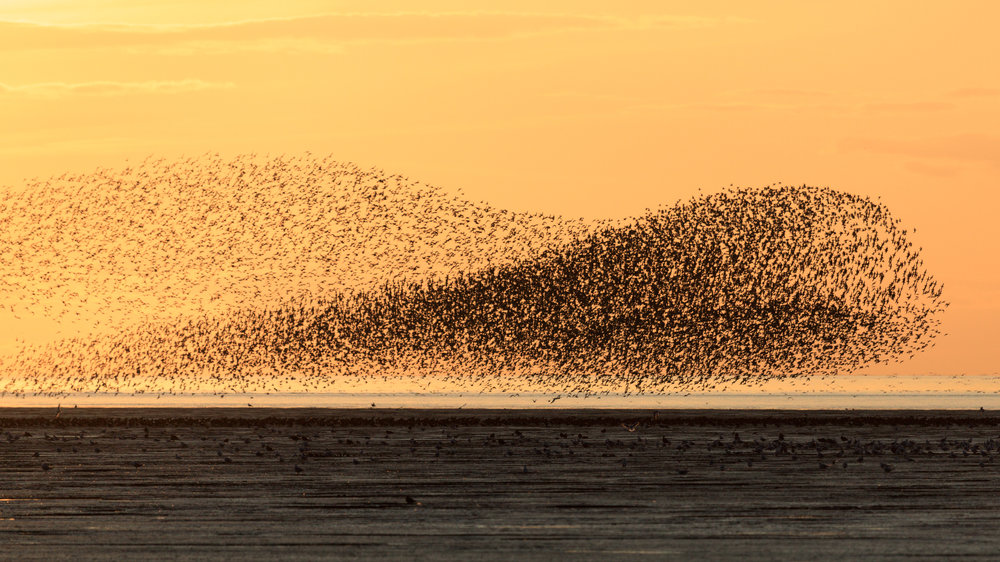 Murmeration - Snettisham, Norfolk