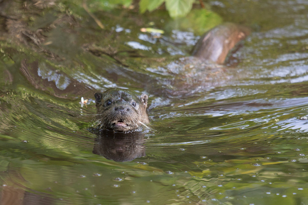 An otter at Oxburgh Hall, Norfolk