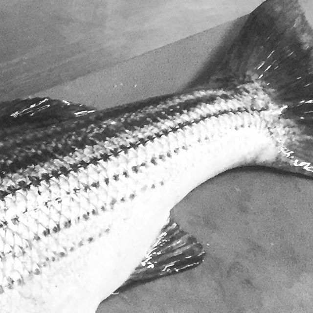 They're back! First Striper of the season And, first Tuesday of the season, open! #perrosaladonewport #stripedbass #summer