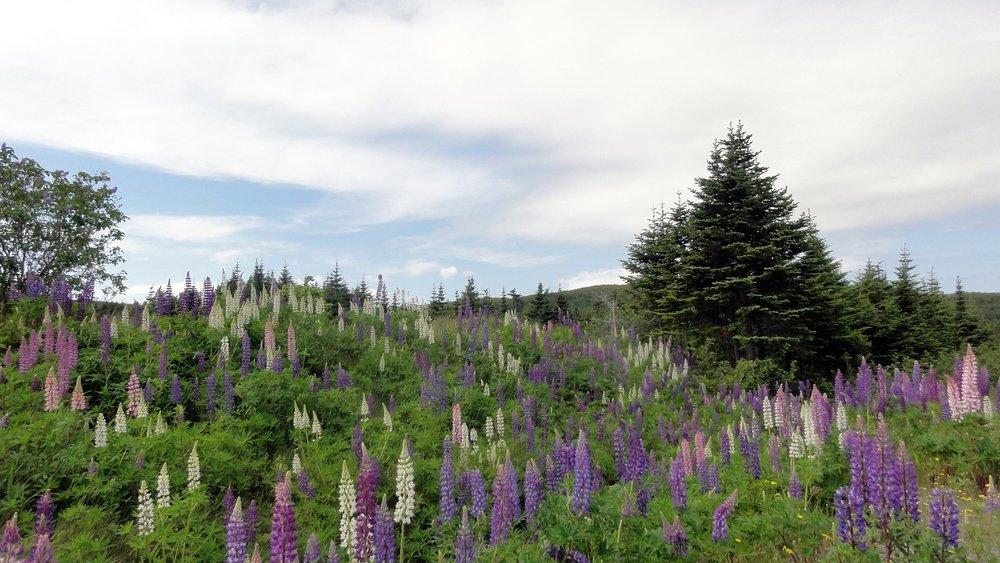 A lupin patch near Bauline.