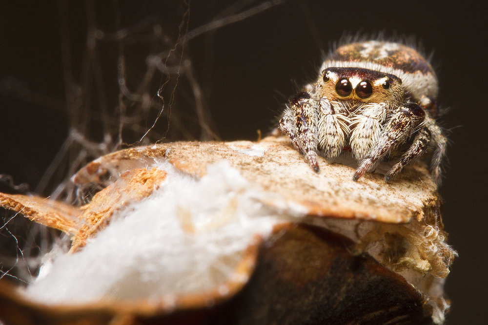 The Gold-faced Jumping Spider ( Simaetha tenuidens )   sitting outside her silk leaf retreat in Mareeba, QLD.