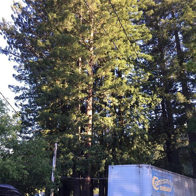 On tour in Cali with Locos Por Juana, Reggae on the river compound, Humboldt County, everything is Irie...Majestic Redwoods!!