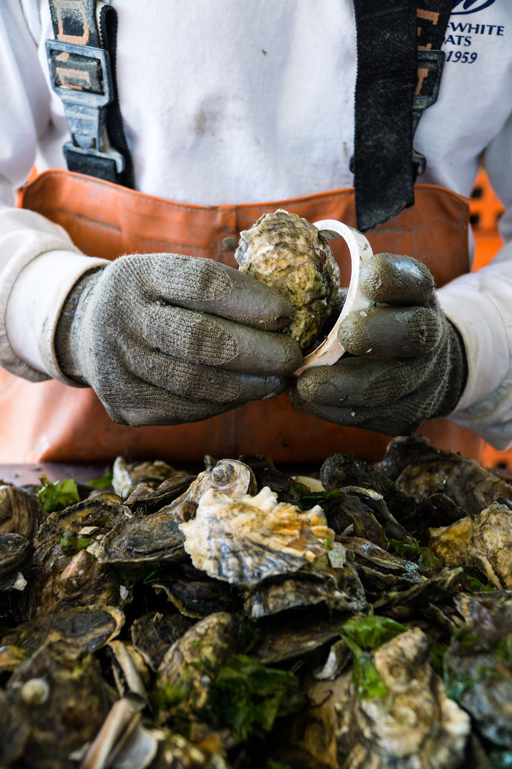 The New American Farm - Oysters from Duxbury Bay