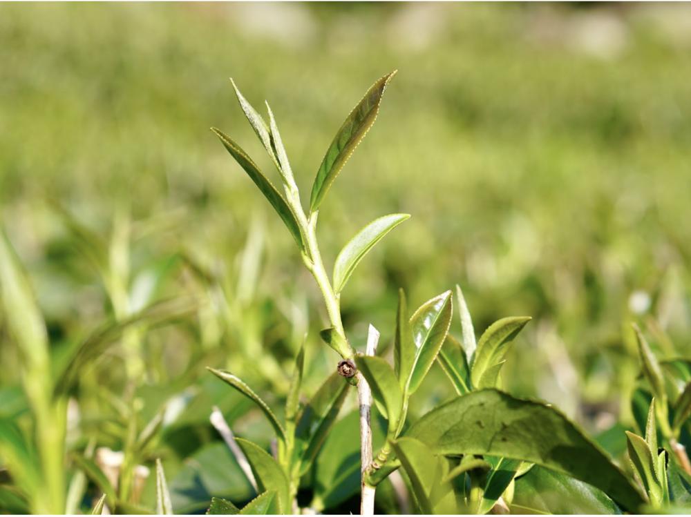 Picture of a Camellia Sinensis Tea Plant