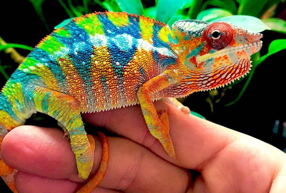 ambilobe-panther-chameleon-breeder.jpg