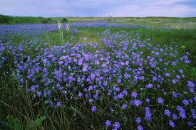 image of a flax field in bloom via Ego Felix