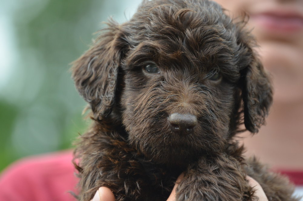 mini labradoodle puppies