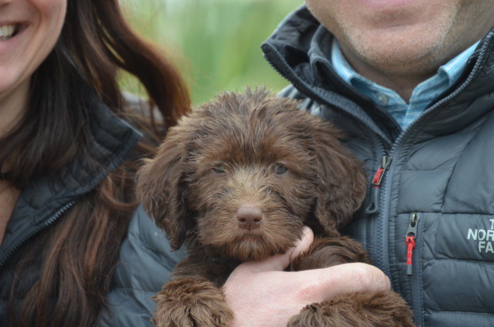 miniature-Labradoodle-puppy