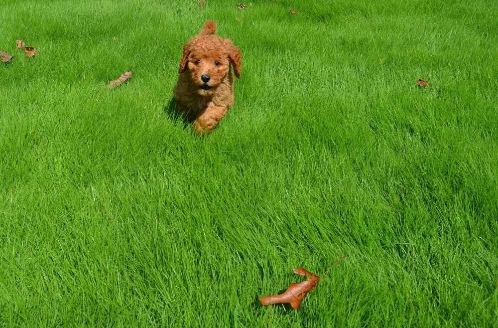 red-mini-Labradoodle