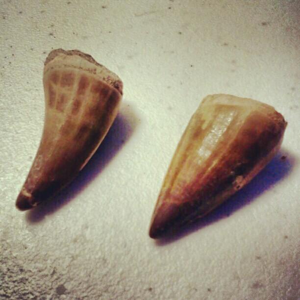 Mososaur teeth.