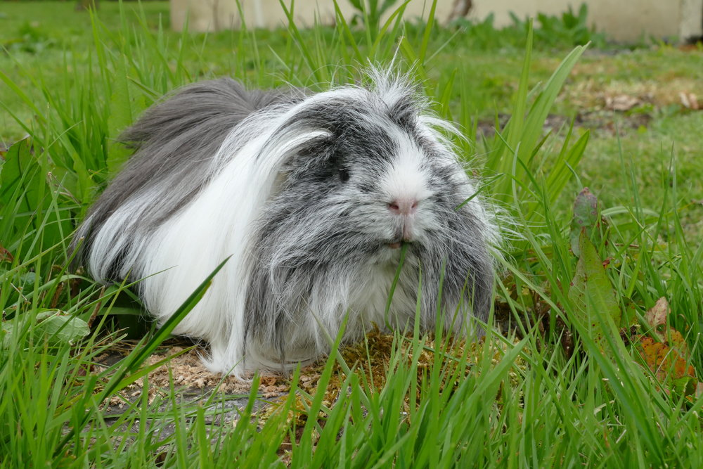 Percy enjoying the grass last summer. To the right Percy, Millie and Clover enjoying some parsley.