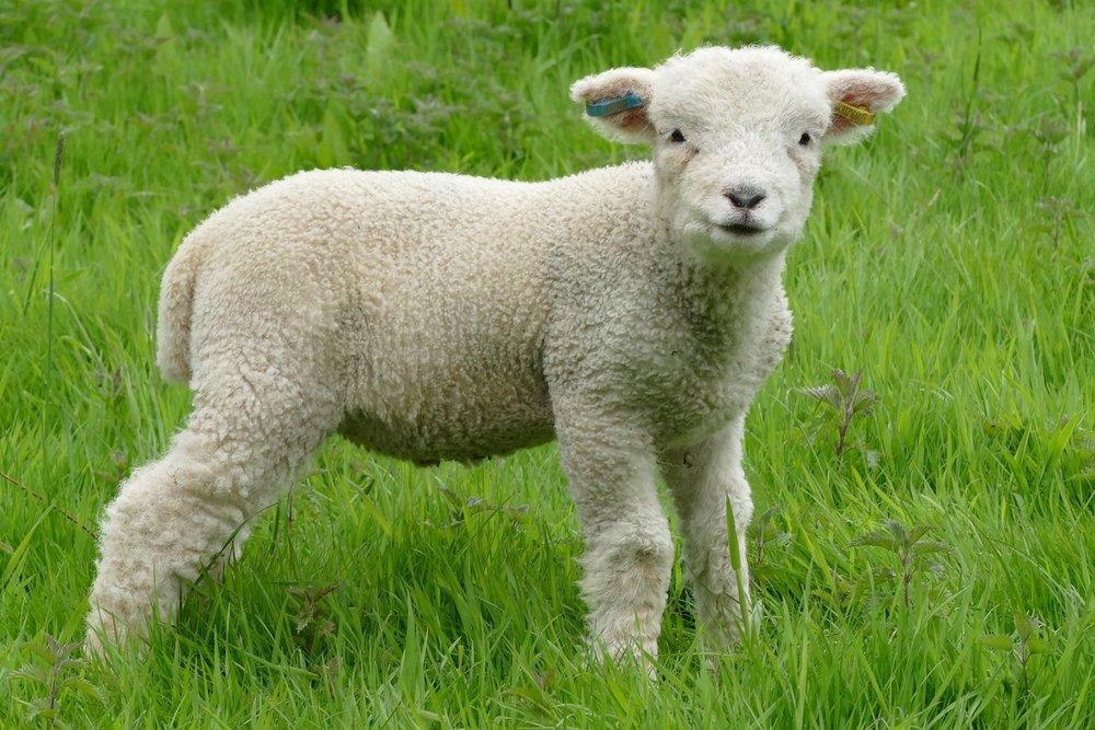 lamb tinhay v2.jpg