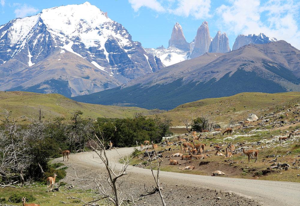 Patagonia Guanaco