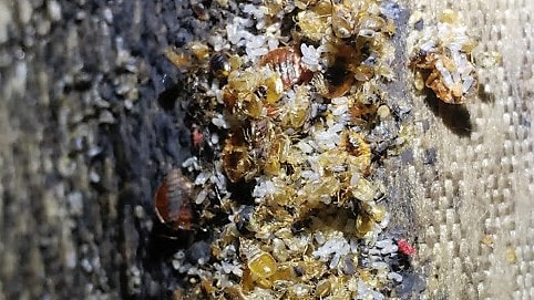 Save money and your furniture by calling Ampulex Pest Control at the first signs of bedbugs. Guaranteed Bed Bug Control at Ampulex Pest Control... No Matter how severe.