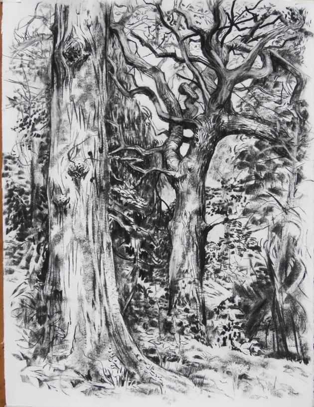 Oaks in Alexandre Park, charcoal on paper