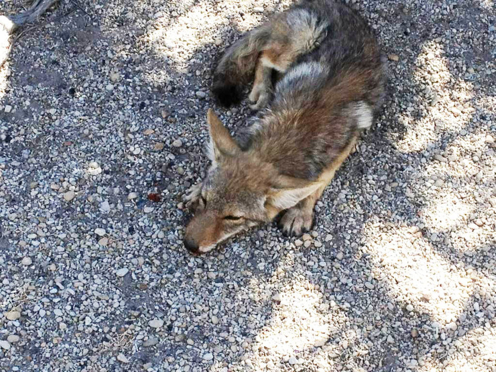This young coyote was found with a leg injury on the side of the road and brought to our rehab, where he was treated and released.