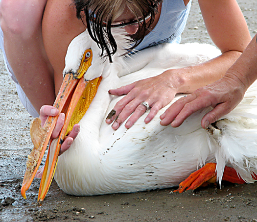 This pelican suffered a wing injury and was treated at our care center.