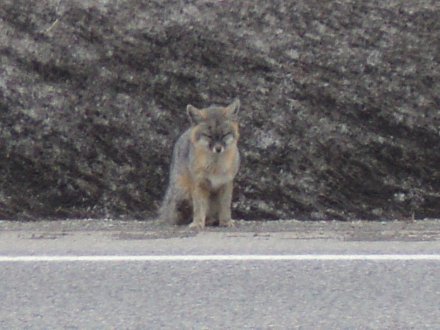 A young injured fox on the side of the road.