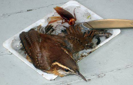 This wren was caught in a glue trap.
