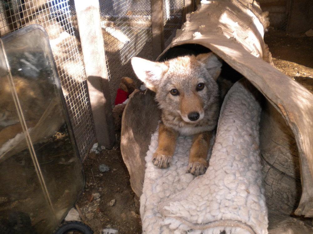 coyote 2 15.JPG