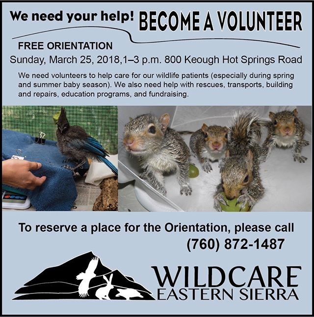 Become a volunteer and help save our local wildlife! Volunteer Orientation is March 25 – reserve your place!  #wildlifecare #easternsierra #BishopCa #babyseason