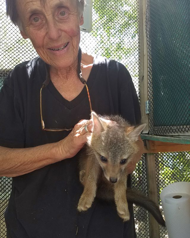 gray fox cub