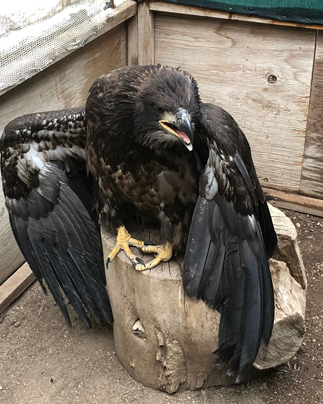 This young Bald Eagle was brought to Wildcare on Sunday by residents near Mono Lake. He was examined and treated for a foot injury, and we hope to find his nest and return him safely. #baldeagle  #baldeaglets  #monolake  #fledglings  #wildliferehabilitation